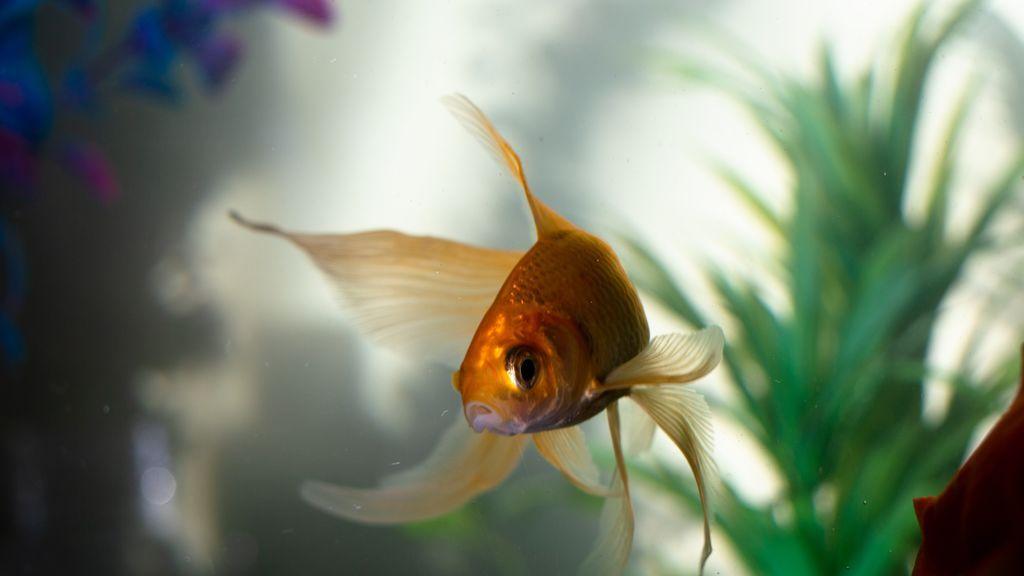 Crean un chaleco especial para que un pez con un problema físico pueda nadar
