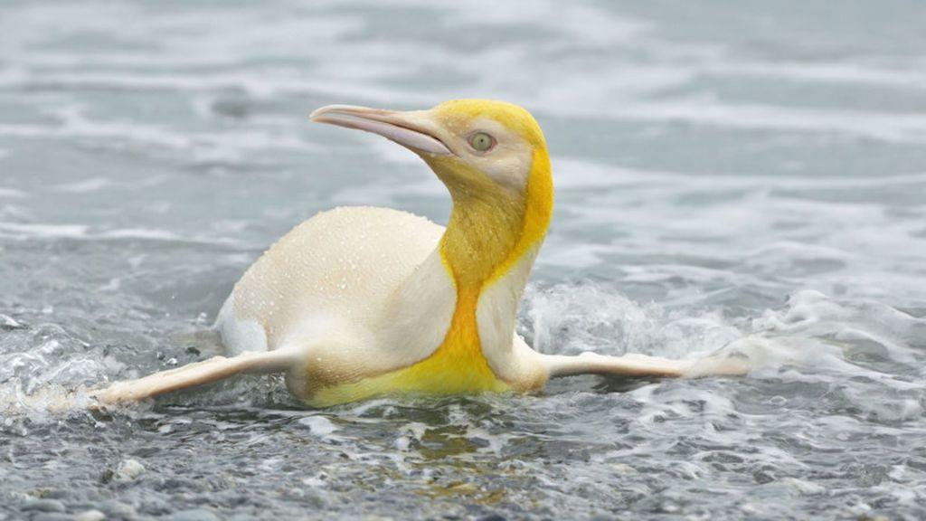 ¿Es real? La fotografía de un pingüino amarillo que se está haciendo viral