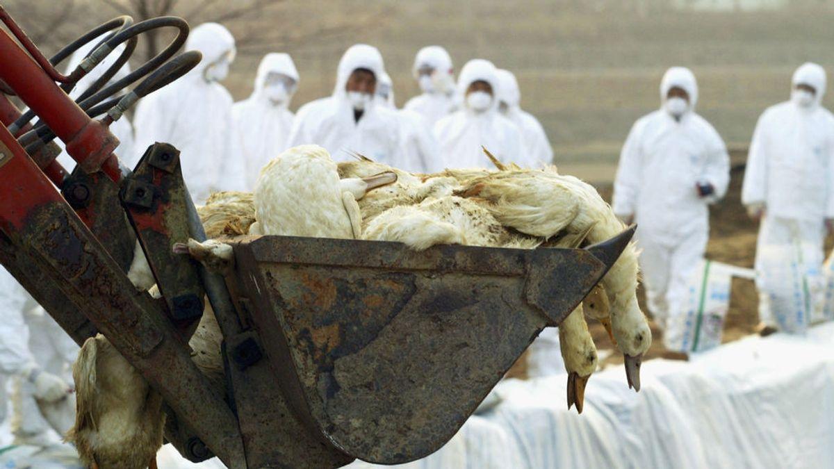 ¿Qué es la cepa H5N8 de gripe aviar y por qué es tan peligroso el primer contagio a humanos?