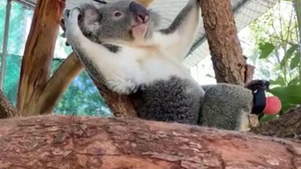 Triumph, el koala que nació sin un pie, ya disfruta con una prótesis diseñada por un dentista de Australia