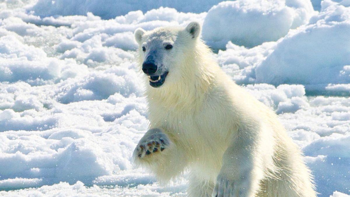 La pérdida de hielo del Ártico obliga a los osos polares a utilizar cuatro veces más energía para sobrevivir, según un estudio