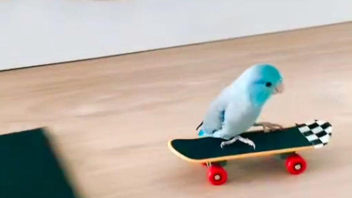 De 'chocar los cinco' a deslizarse en monopatín: las habilidades de Wolfie, el loro skater de TikTok