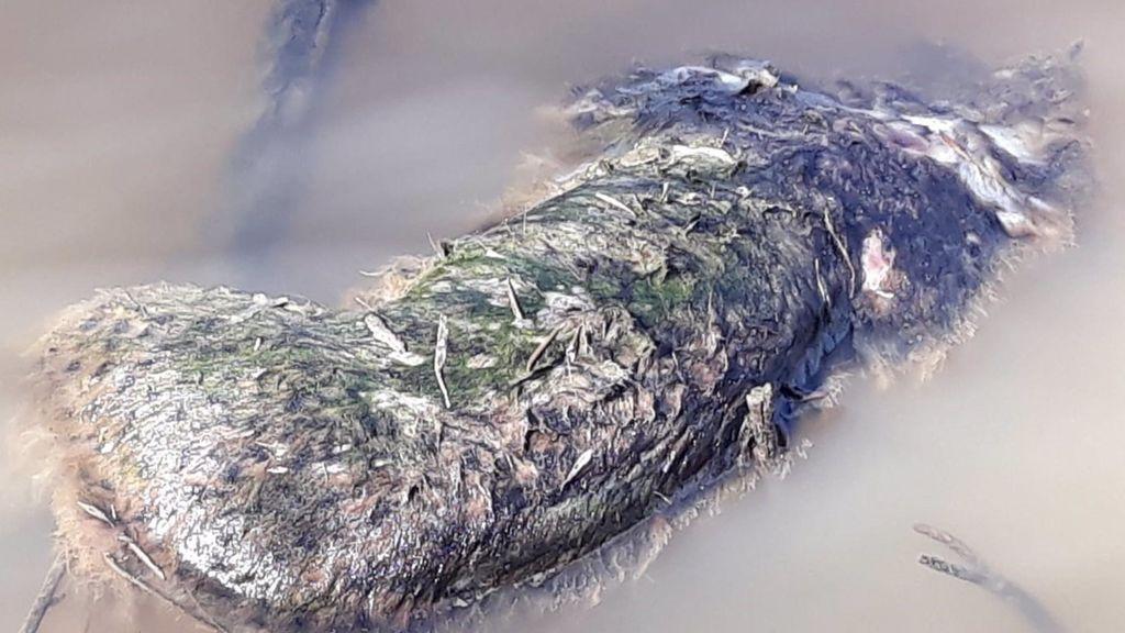 Hallan flotando el cadáver de un lince ibérico muerto por disparos en Doñana
