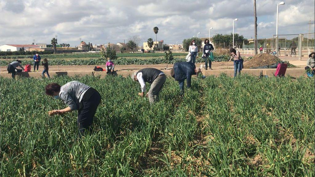 Los ciudadanos se han acercado a esta huerta durante diez días para recoger sus cebollas
