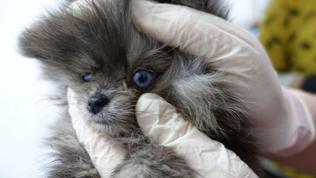 Encuentran 18 cachorros muertos en el congelador y 12 perros enfermos en una tienda de mascotas de Barcelona