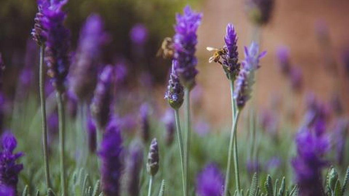 Lavanda, la planta que podrá ayudarte a cuidar la piel y a la relajarte: los productos imprescindibles en tu día a día.