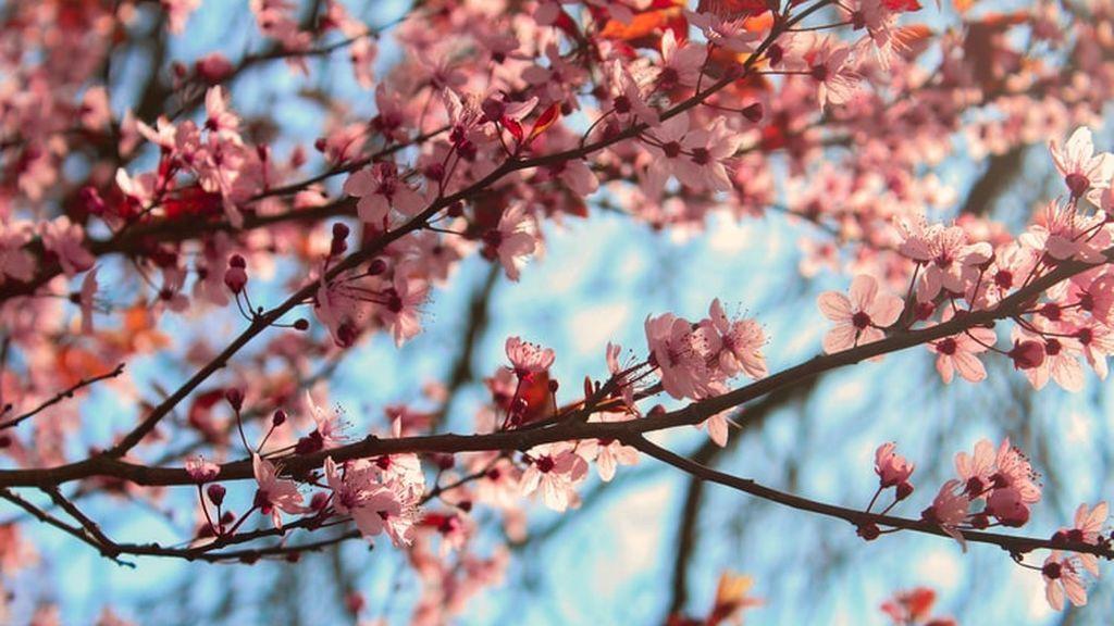 ¿Almendro o cerezo? Estos son los trucos para distinguir con la floración primaveral