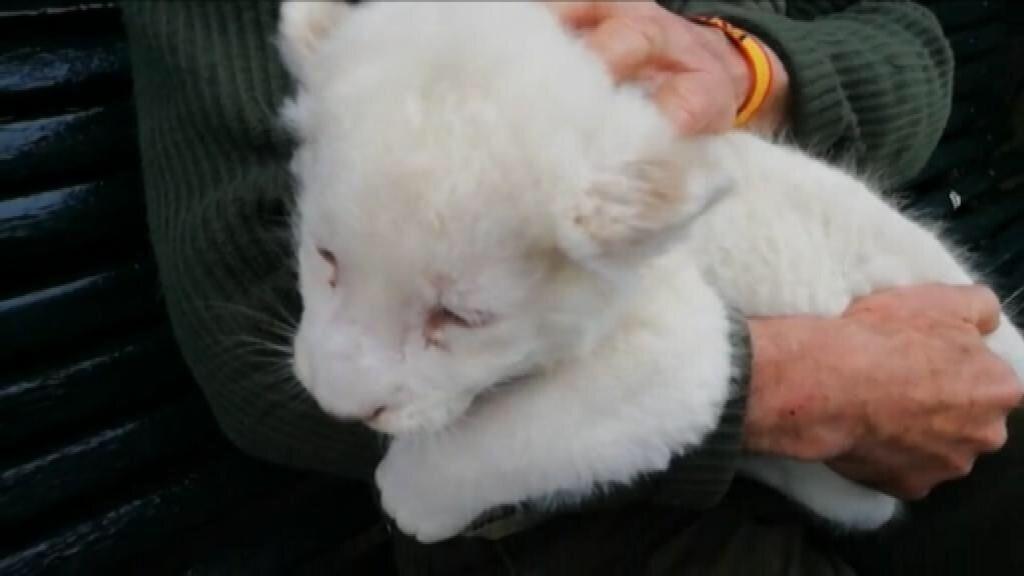 Nace en Sevilla un león blanco