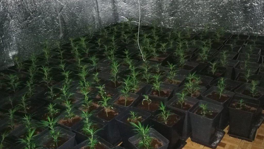 La marihuana que se vende en Madrid no es apta para el consumo en el 62 % de los casos