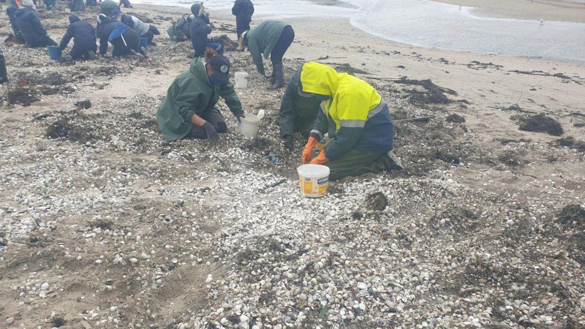 Toneladas de marisco muerto cubren las playas de Rianxo por culpa de las constantes lluvias
