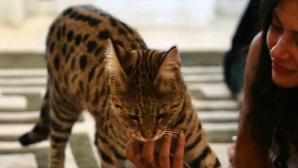 3.000 euros para quien encuentre a Rajah, el gato de una celebrity francesa perdido en Marbella