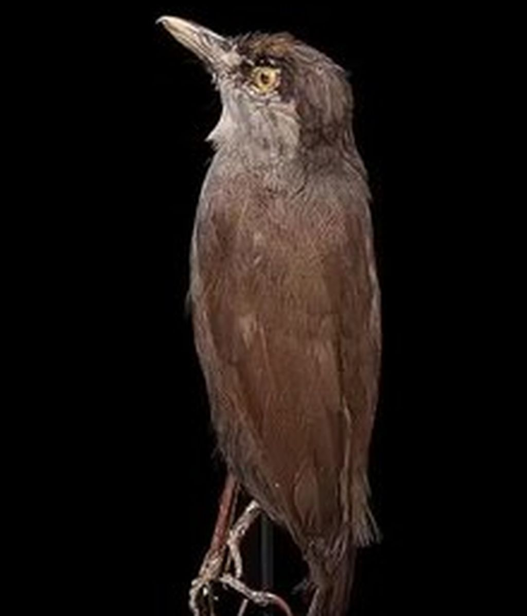 220px--Naturalis_Biodiversity_Center_-_RMNH.AVES.89412_-_Malacocincla_perspicillata_(Bonaparte,_1850)_-_Black-browed_Babbler_-_specimen_-_video.webm