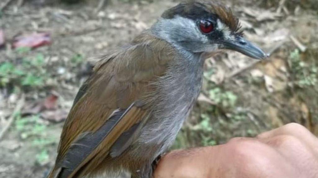 Reaparece un pájaro que se creía extinto hace 170 años: así es la misteriosa tordina cejinegra