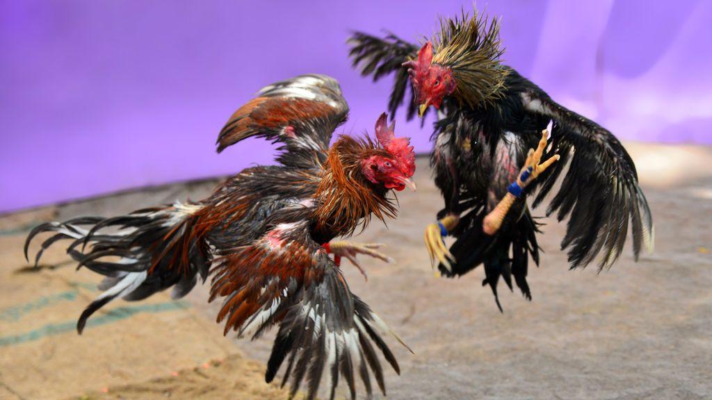 Un gallo de pelea mata a su dueño con el cuchillo que le habían atado a una pata