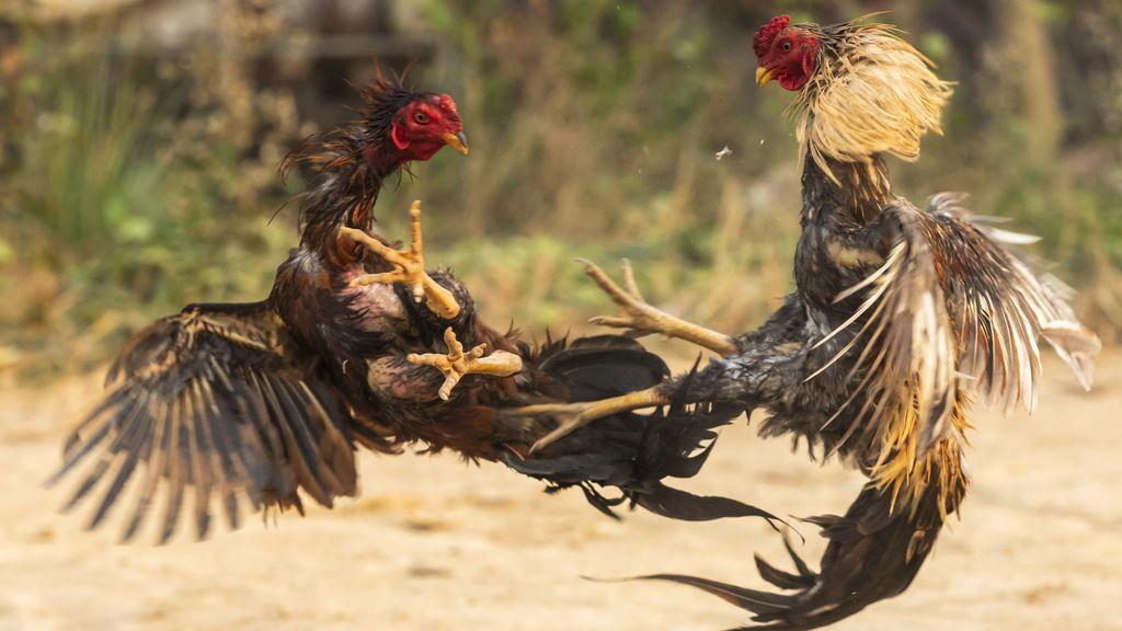 Las peleas de gallos se prohibieron en 1960