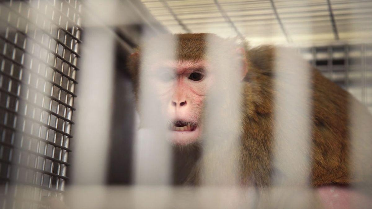 Si no hay mono, no hay vacuna: la escasez de macacos chinos retrasa los ensayos