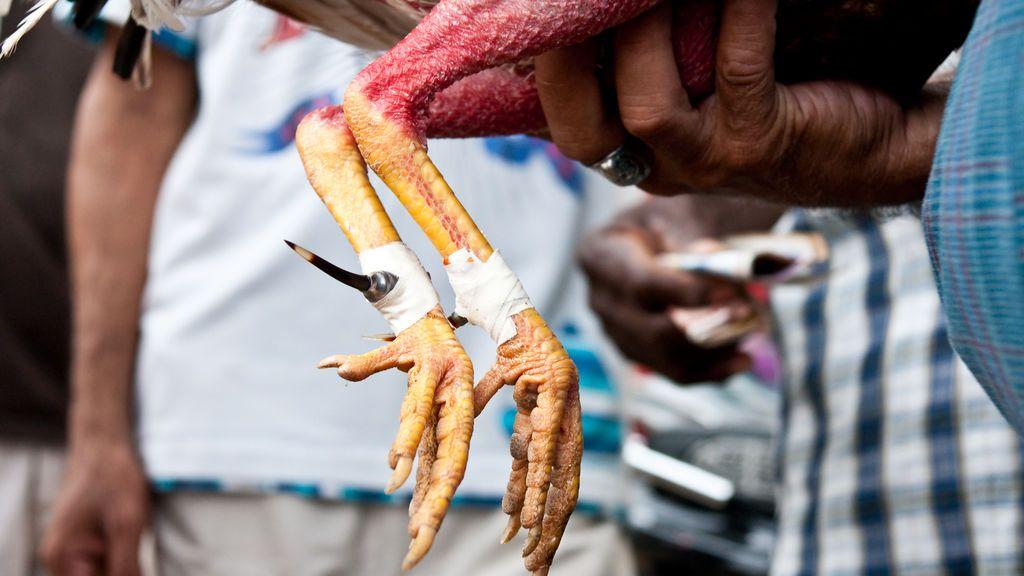 El gallo le clavó el cuchillo en la ingle