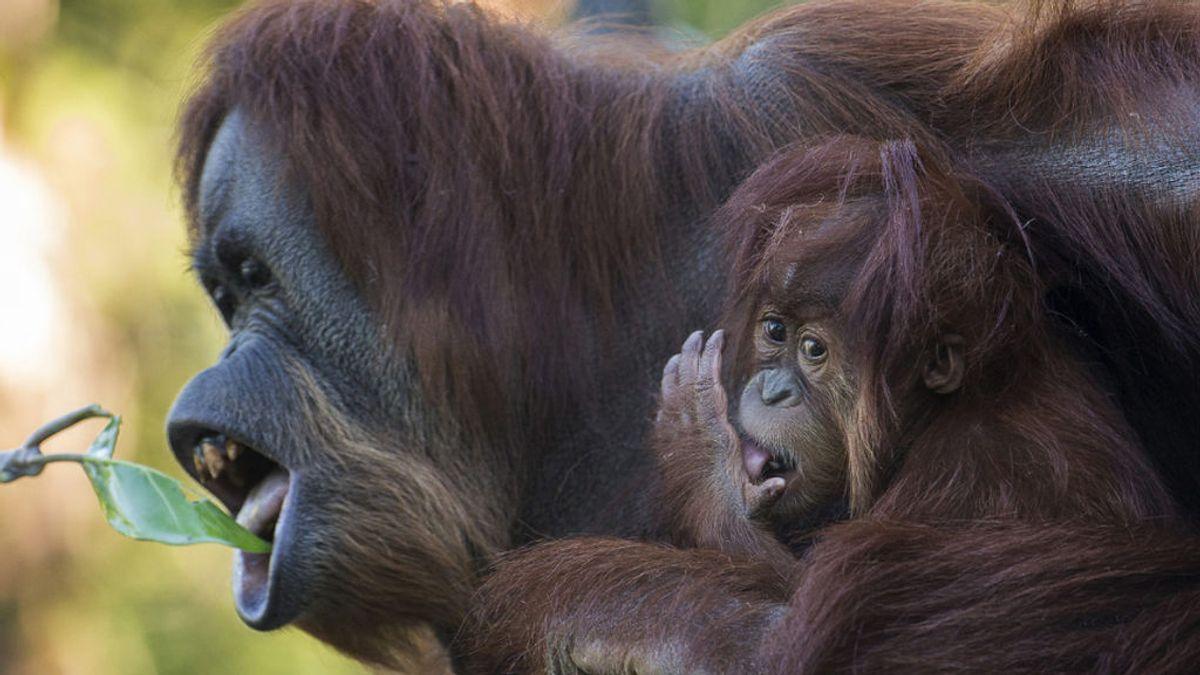La orangutana Karen y sus compañeros del zoo de San Diego, primeros simios en recibir la vacuna contra la covid