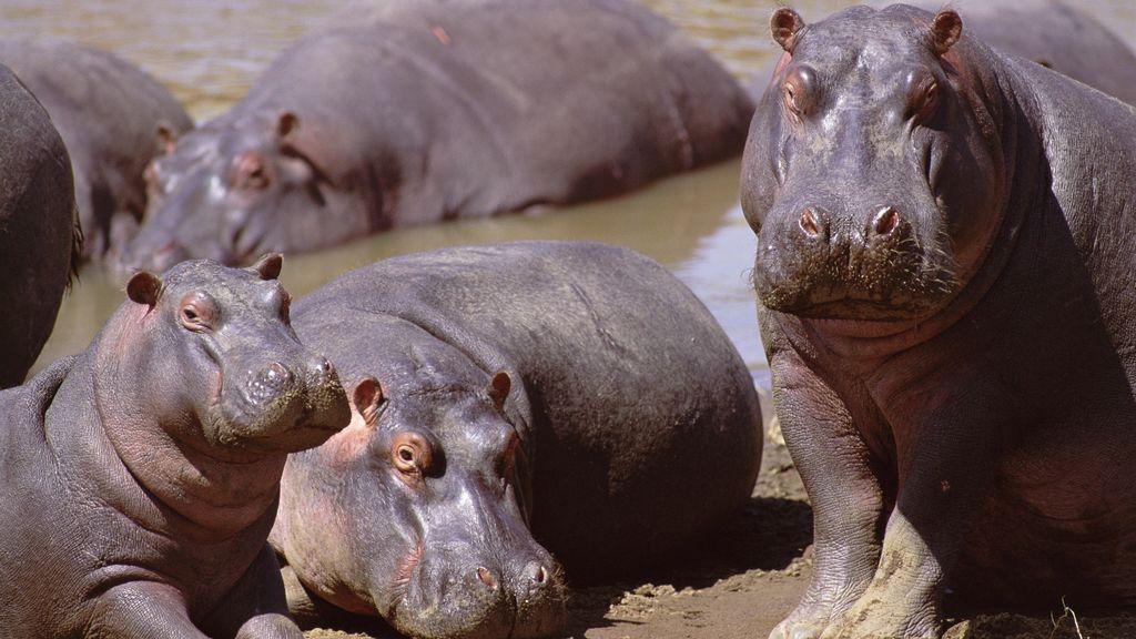 No son los pesticidas: lo que está matando a los peces de África son las heces de los hipopótamos