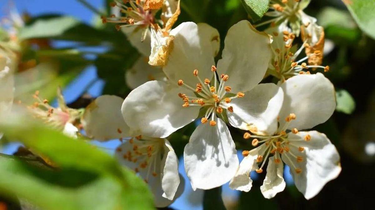 Un estudio relaciona el aumento del polen con más contagios por COVID-19