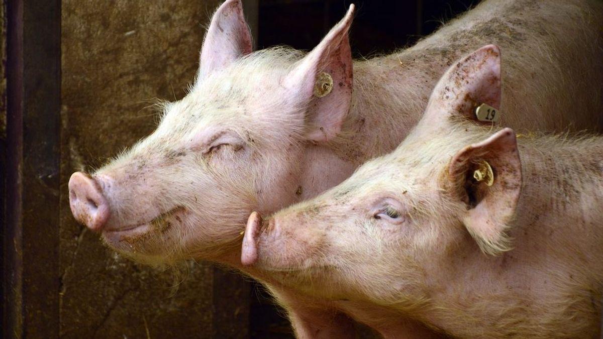 Huawei desarrolla un proyecto para criar cerdos con inteligencia artificial
