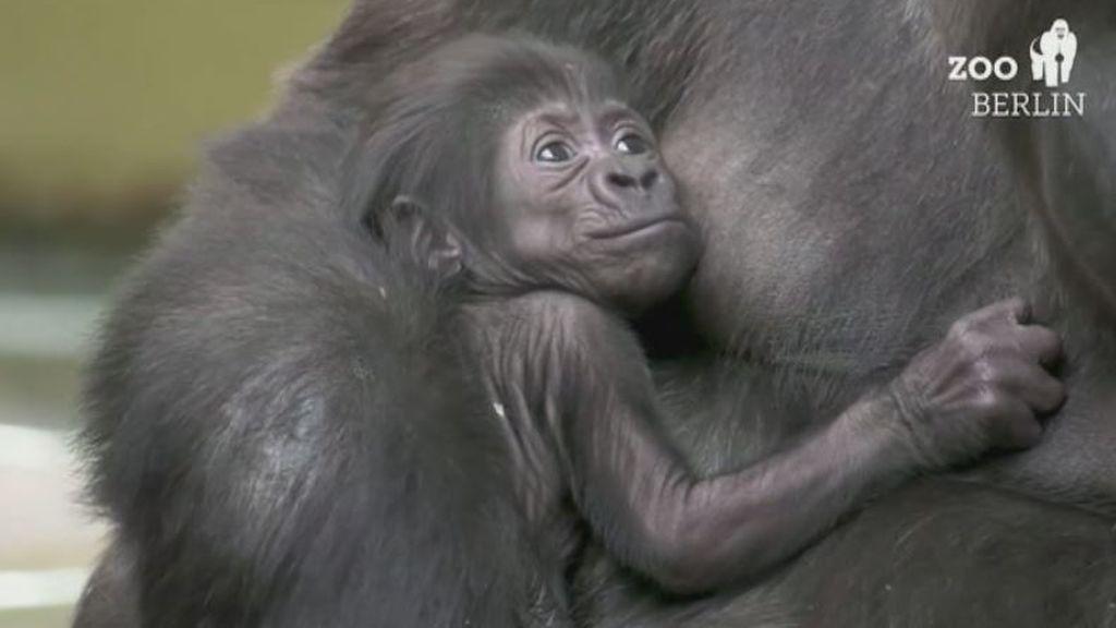 El bebé gorila del zoo de Berlín ya tiene nombre: Tilla se impone entre más de 17.000 sugerencias