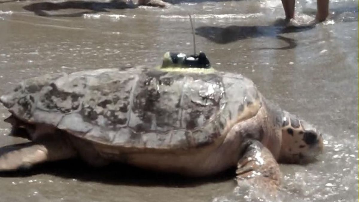 La tortuga Colomera soltada al mar en Oropesa en junio vuelve desde Grecia por la misma ruta