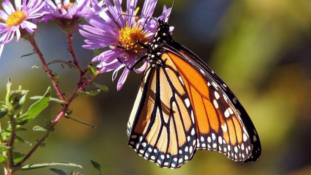 Adiós al aleteo de las mariposas: el cambio climático está provocando el colapso de sus poblaciones