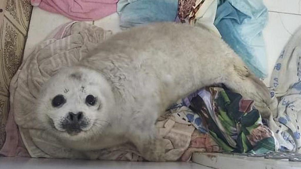 Una cría de foca muere de estrés tras ser rodeada por una multitud en la costa