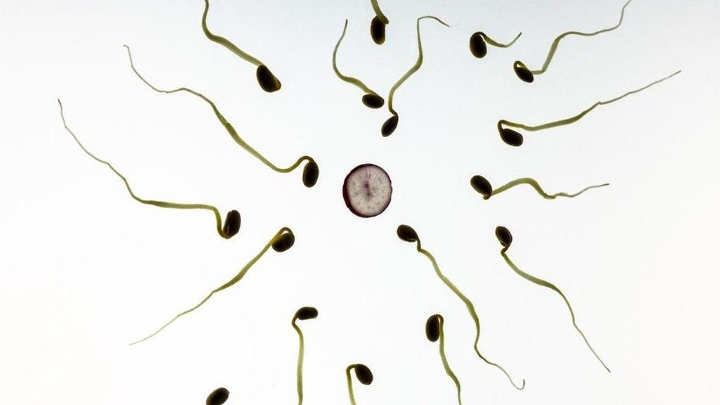 Descubren que algunos espermatozoides 'envenenan' a la competencia por fertilizar al óvulo