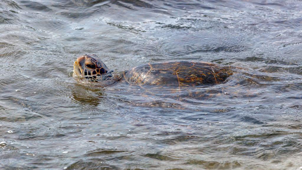 'Síndrome de flotación': la afección tras ingerir plástico que está matando a las tortugas