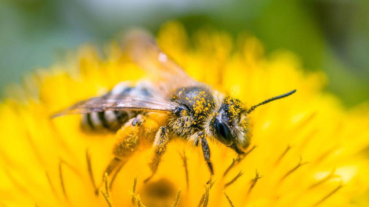 Detectan por primera vez microplásticos en el cuerpo de las abejas que puede terminar en la miel que consumimos