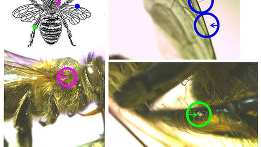 Microplásticos en abejas