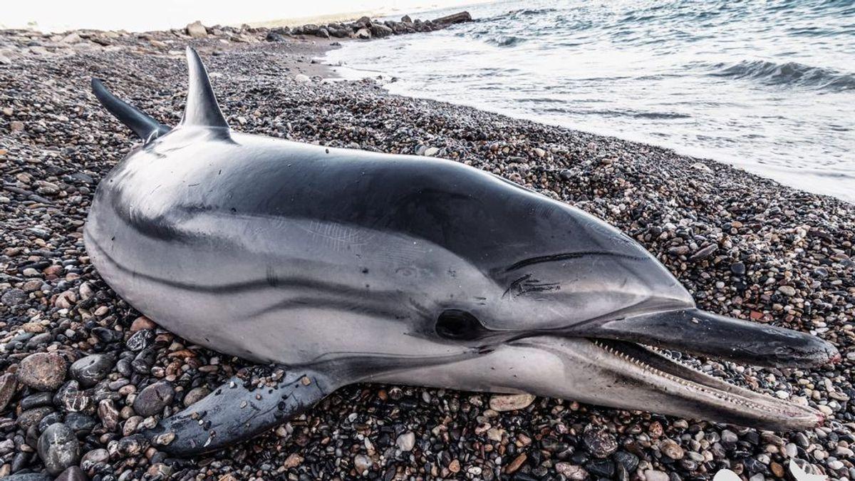 """Los análisis descartan que el Morbillivirus tenga un """"papel notable"""" en la oleada de delfines muertos en Almería"""