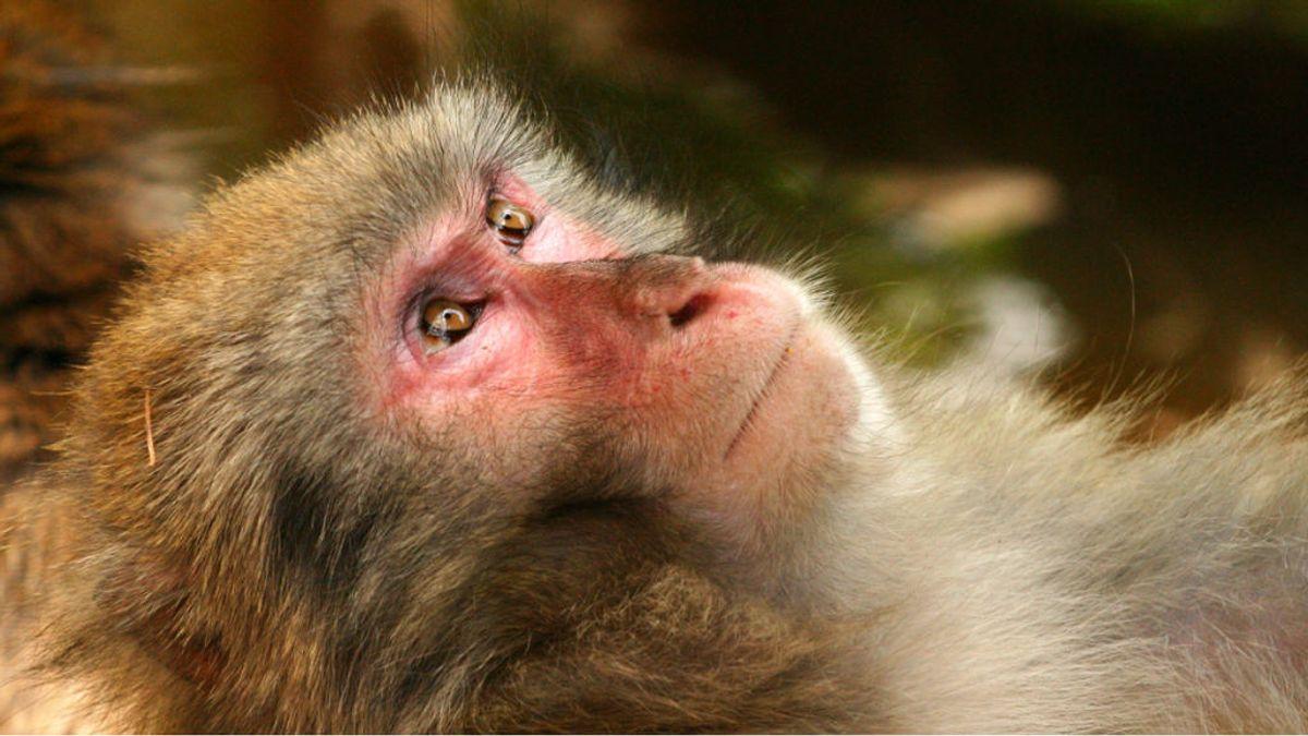 Los poderes del zaru, el macaco japonés que sobrevive a la radiación de Fukushima