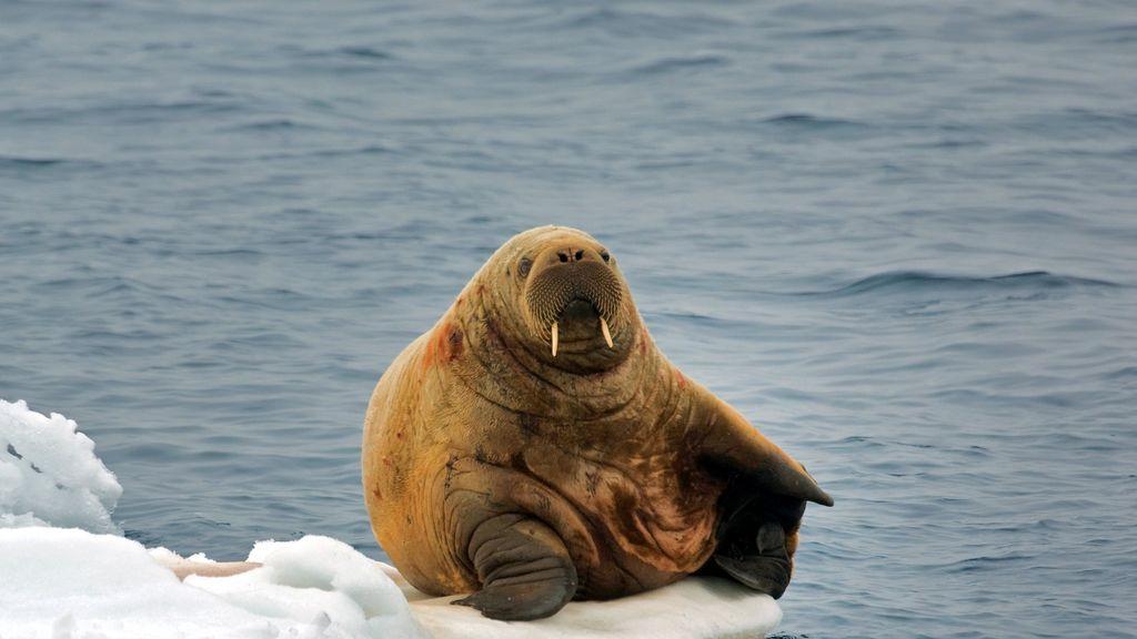 Una morsa del Ártico se duerme la siesta sobre un iceberg y se despierta en Irlanda