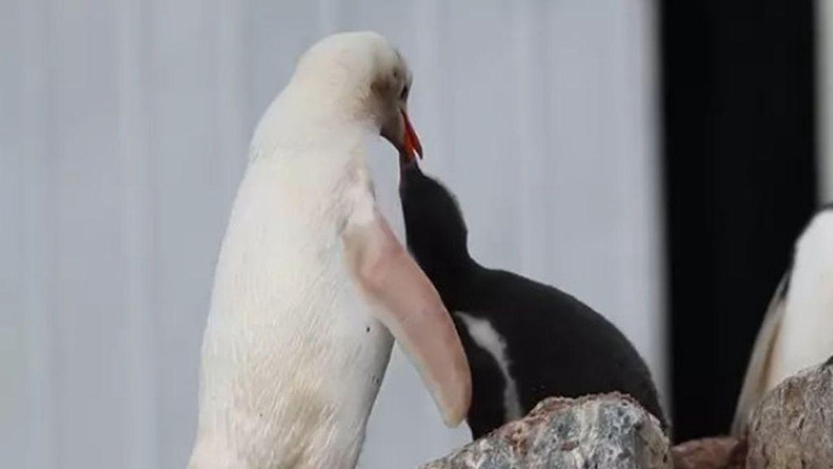 Un pingüino papúa, blanco por su leucismo, brinda las mejores imágenes a un fotógrafo en la Antártida
