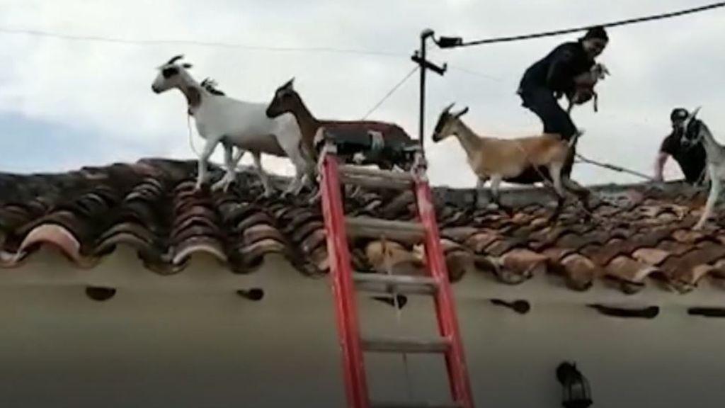 Recate cabras en Colombia