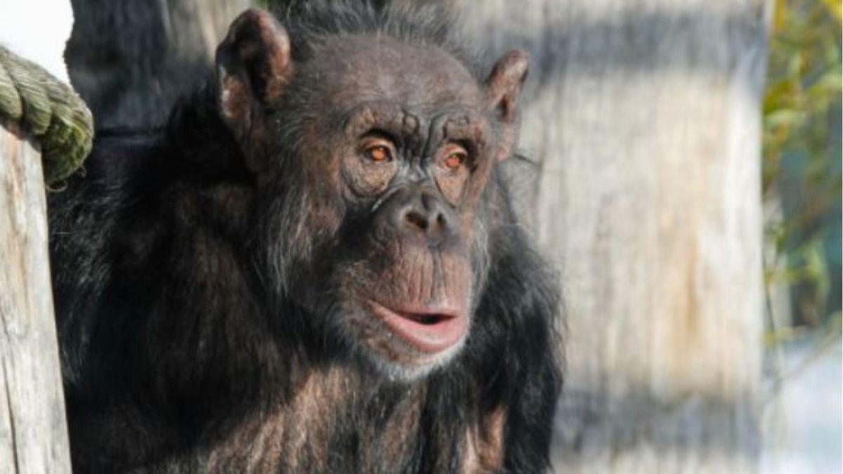 Los monos también hacen 'Zoom': los simios de un zoo de Chequia interactúan con sus vecinos con videollamadas