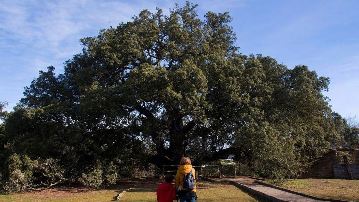 La encina milenaria La Carrasca de Lecina de Huesca, elegida mejor árbol de Europa