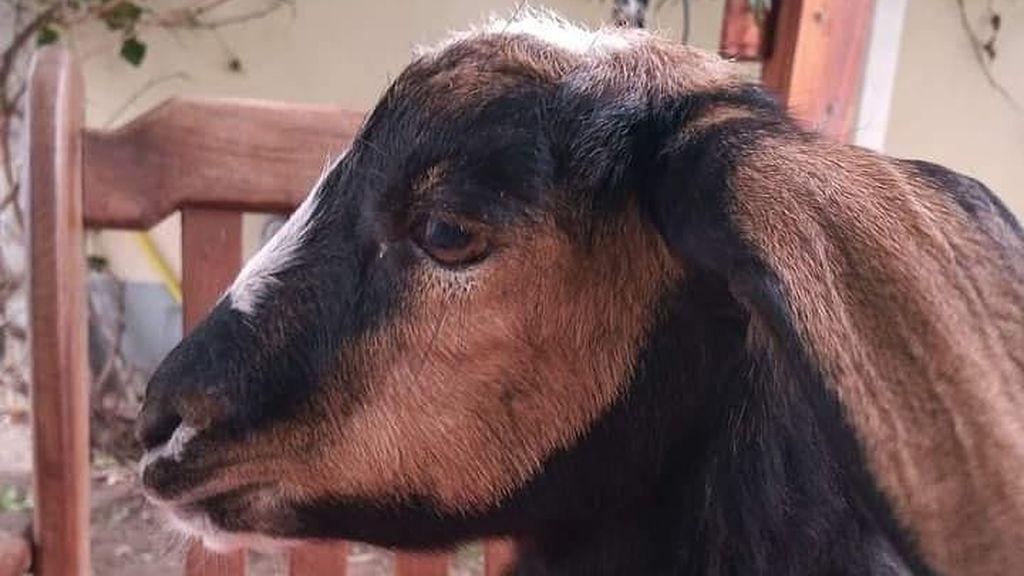 Vilma, la cabra tiktoker