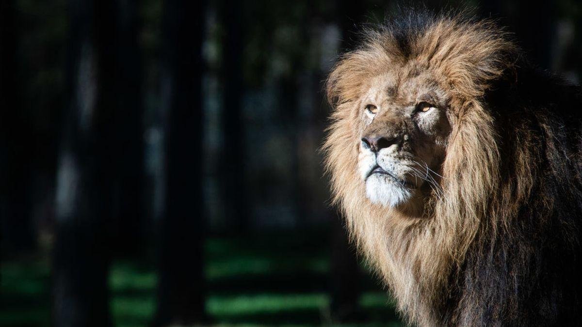 Uganda investiga la muerte de seis leones protegidos envenenados por traficantes de animales