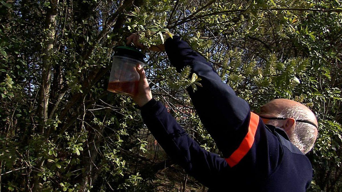 Operación contra la avispa velutina en Galicia: cuándo, cómo y dónde colocar trampas para frenar la plaga