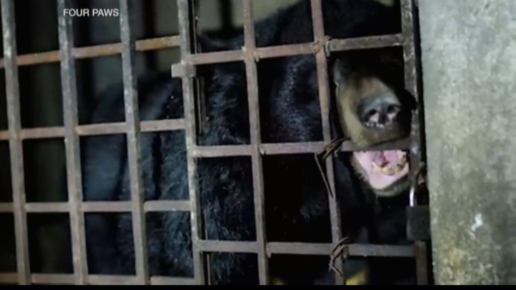 Rescatan a dos osos enjaulados en la oscuridad durante 17 años