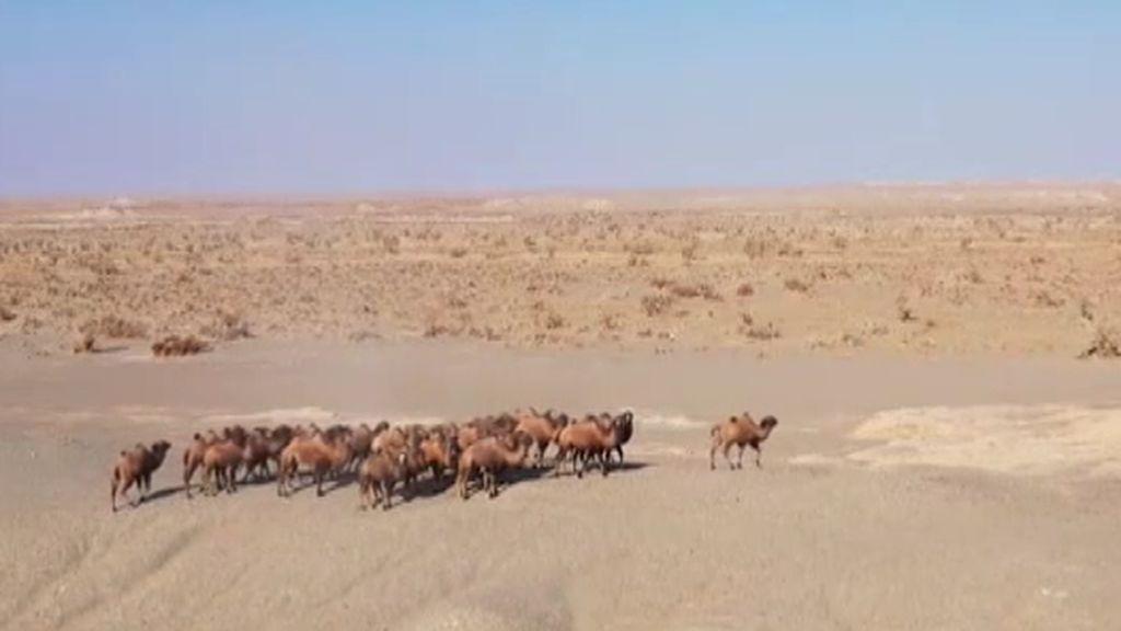 Asombrosas imágenes de una manada de más de 30 camellos salvajes en el desierto del Gobi
