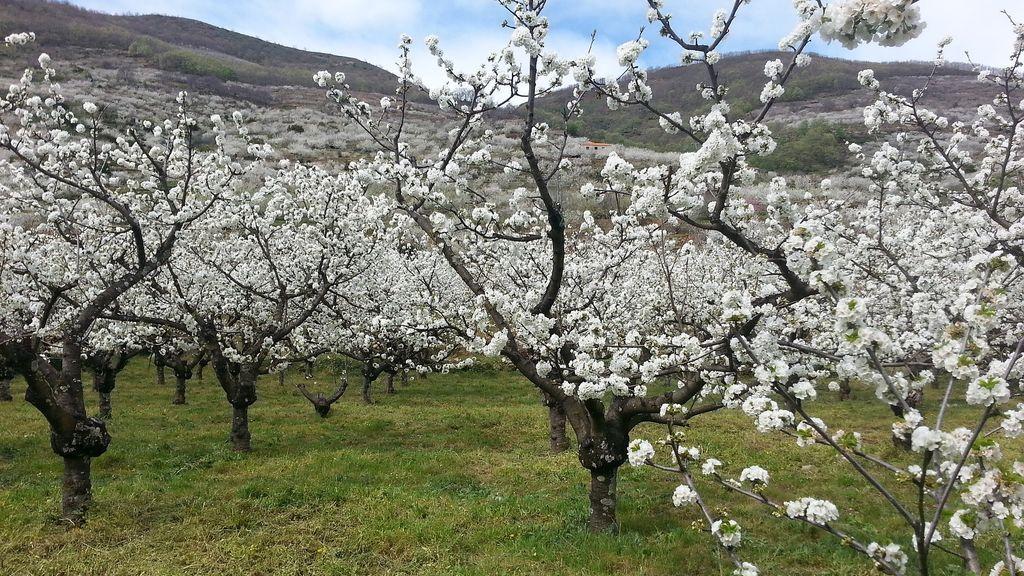 Cerezos en flor: De ruta por España para contemplarlos