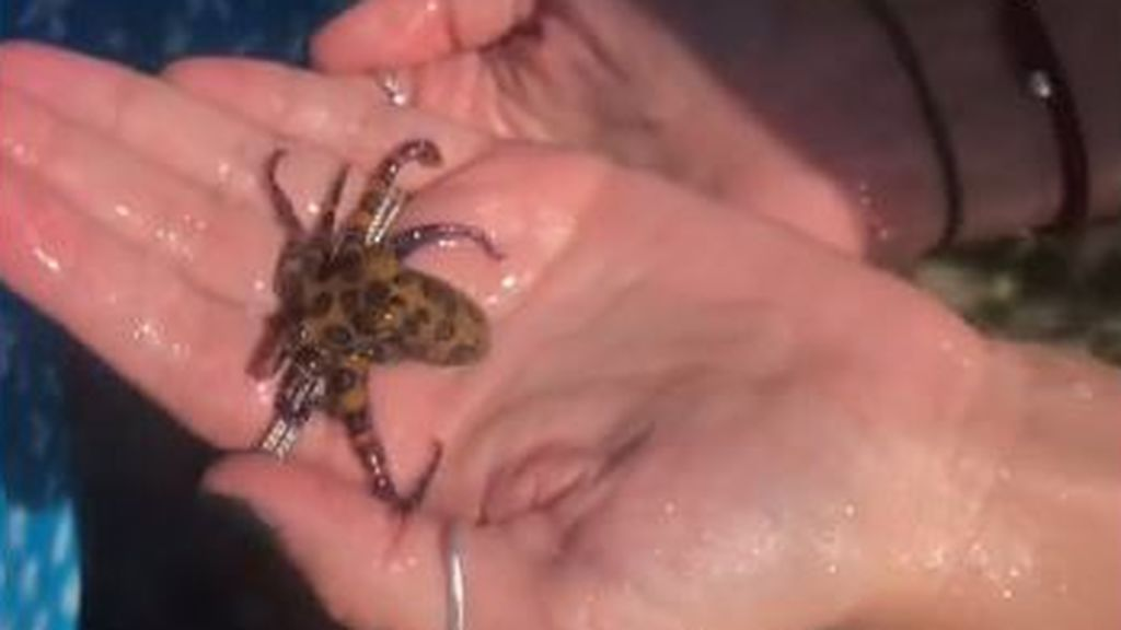 Juega con un pequeño pulpo y resulta ser uno de los animales más venenosos del mundo