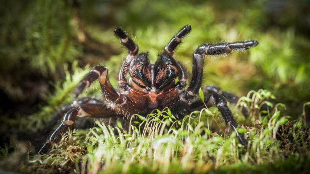 Araña de embudo australiana, la plaga letal que amenaza Sídney tras las inundaciones