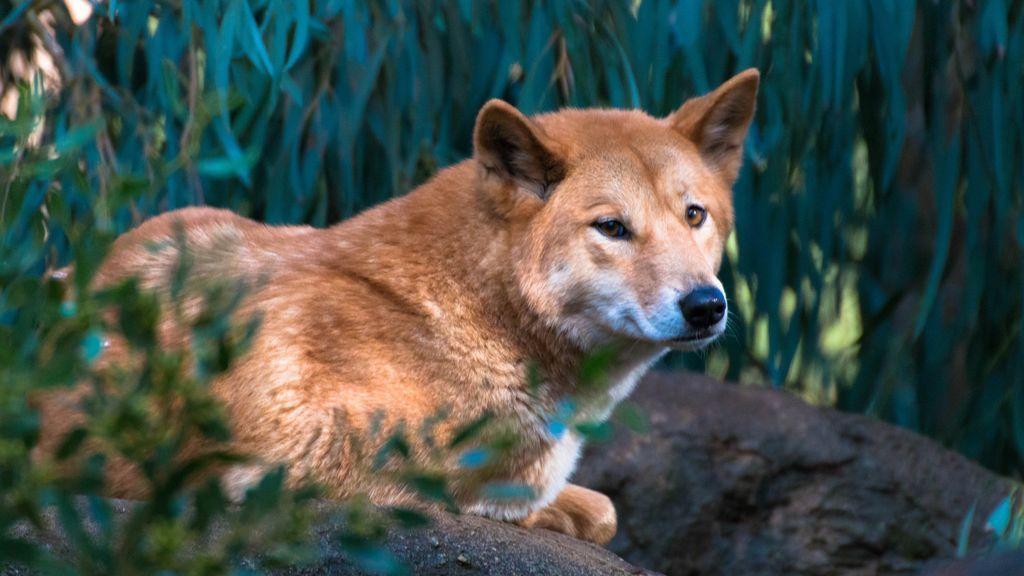 Los 'perros salvajes' de Australia no son perros, sino dingos (considerados prácticamente extintos)