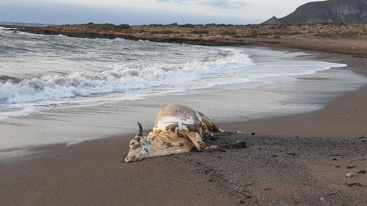 Aparece un ternero muerto en una playa de Murcia